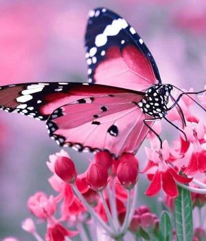 """4  ~  """"Dressed for the Pink Ball Butterfly"""""""