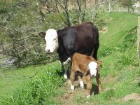 Richards Cow & Calf