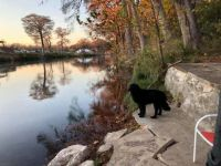 Newfoundland dog in Gruene Tx -