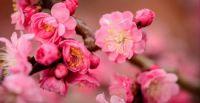 Plum Blossom - 364 Pieces