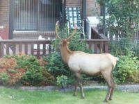 Elk trimming the shrubs