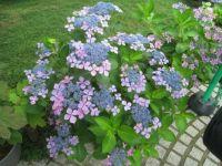 Hydrangea -  Japan  - 19 different kinds