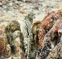 Spot the Snow Leopard camouflage challenge