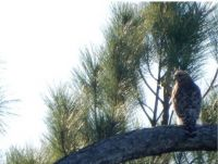 Red Shouldered Hawk (I think)
