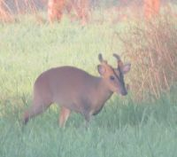 Early morning visit from the Muntjac Deer