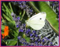 White Cabbage Butterfly on Lavender flower.