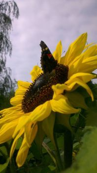 Sunflower with Buterfly