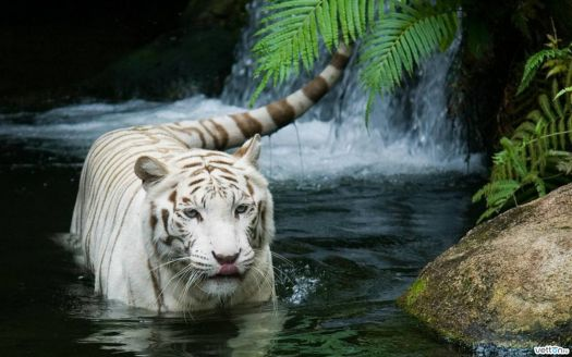 Siberian tiger swimming