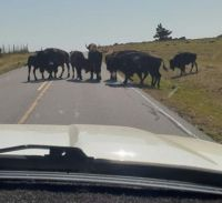 Buffalo Always Have The Right of Way