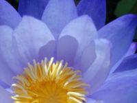 Australian water lily