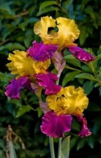 Yellow-Purple Iris