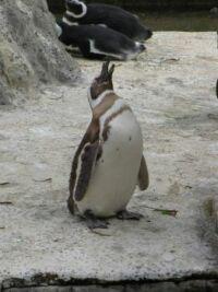 Zoo #9 -- penguin