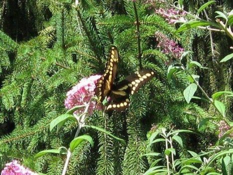 Giant Swallowtail, a visit on Labor Day, 2012