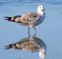 great black-backed gull, juvenile ( jonge mantelmeeuw)