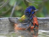 Bath time....male painted bunting