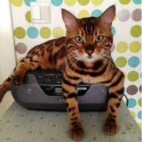 Bengal Kitty Cat 2