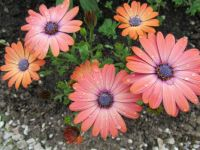 Osteospermum after I had watered them .....
