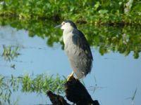 Black-crowned Night Heron  - Sri Lanka