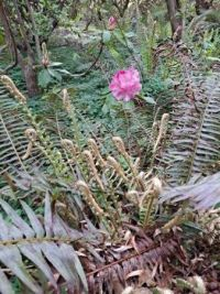 Fern and Rhododendron Trude Webster