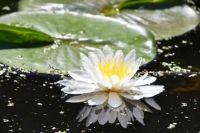 Flower on pond.