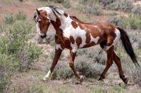 Colorado wild Mustang named Picasso