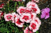 Dianthus ...and diamonds!!