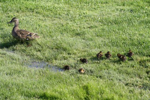 MOMMA MALLARD & 7 DUCKLINGS