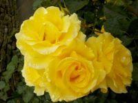 Yellow floribunda rose