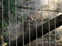 Cougar at the Portland Zoo
