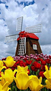 TULIPS & A WINDMILL