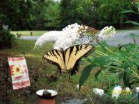 Tattered Swallowtail
