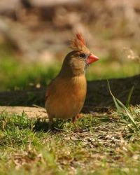 Female Cardinal sending Well Wishes to Tugman John