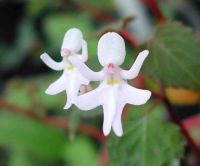 Dancing Girls (Impatiens Bequaertii)