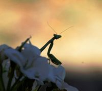 Praying Mantis, Kansas.