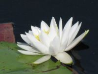 Water Lily on Lake Dixie, Clermont, FL