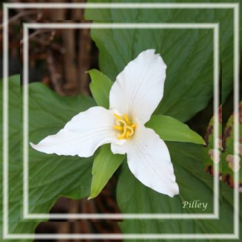 I'll see your orchids and up the bet with a trillium.