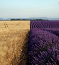 Wheat and Lavender Field