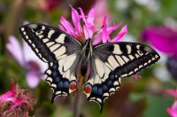 UK butterfly