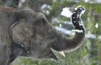 Elephant throws snowball- at himself!