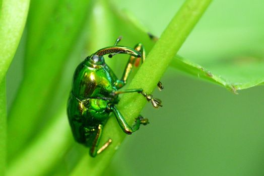 Metallic Green Weevil - Ecuador