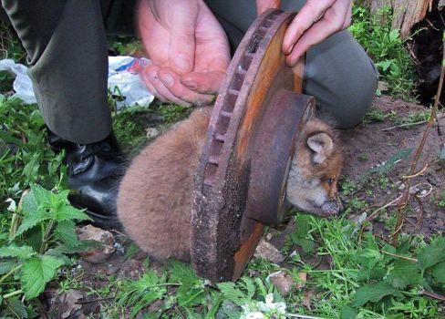Fox cub in a fix