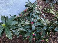 Variegated Winter Daphne