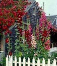 Hollyhocks...I think.