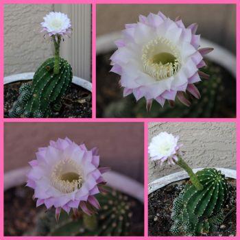Courtyard Cacti