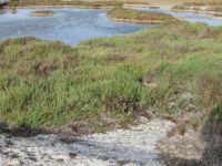 Flora of Sardinia: Halophytes at Le Saline, Stintino