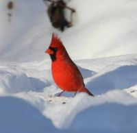 Handsome young male cardinal.