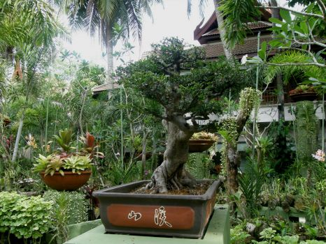 Bonsai (over 60 years old)