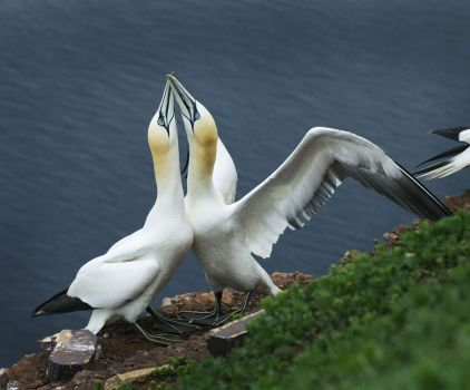 Gannets at Faroes Islands