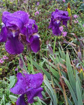 Blueflags in the rain