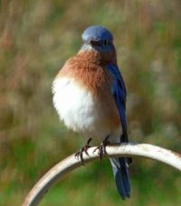 Male Bluebird in my back yard